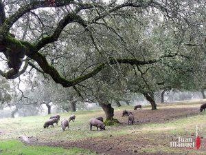 La dehesa de Jamones Juan Manuel - cerdos