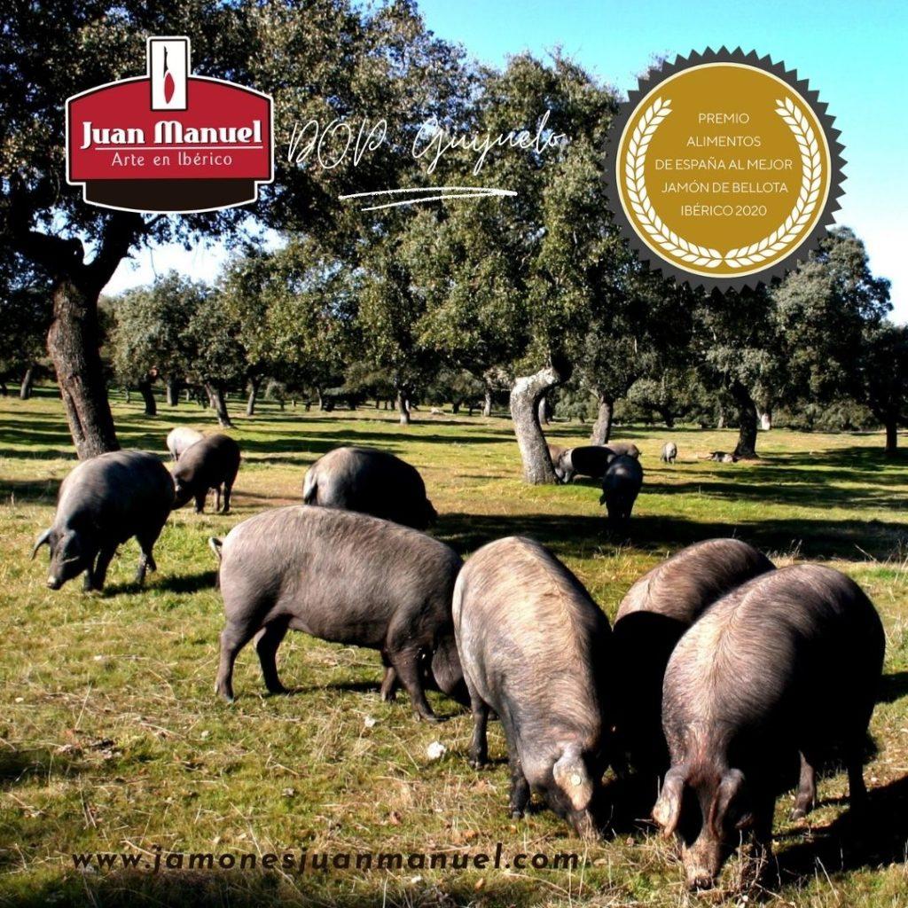 cerdos comiendo en la montanera