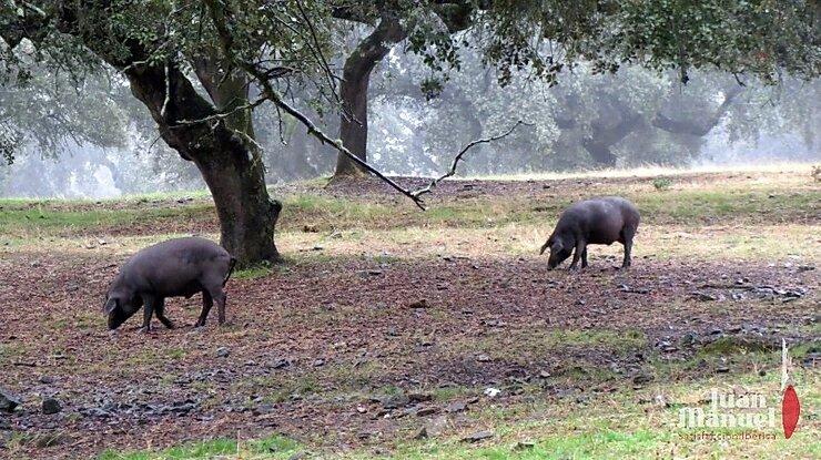 La Montanera en Juan Manuel dos cerdos ibéricos