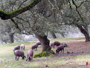 La Montanera en Juan Manuel cerdos comiendo