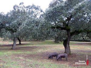 Nuestro Cerdo Ibérico